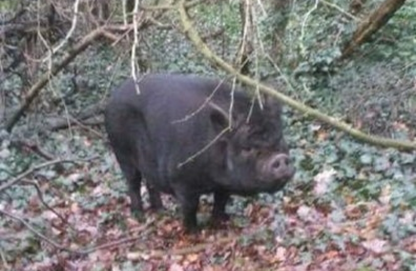 Page Woods Pig